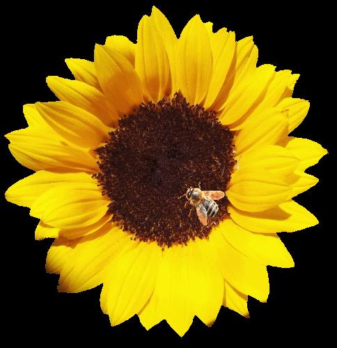 une abeille qui butine sur une feuille de tournesol